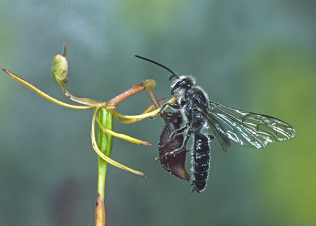 becoming wasp becoming orchid fluxofthought